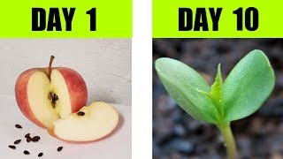 Apple Seed Germination Sтep By Step with Time Lapse