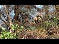 SONNEUR à Ventre Jaune/Chant/Bombina variegata ! BRUITX