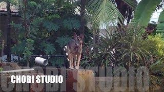 """【マンガロール犬チョビさん】インド犬の喧嘩ごっこ   Mangalorean Dog Chobi  """"Indian Dogs Pretend To Play Quarrel"""""""