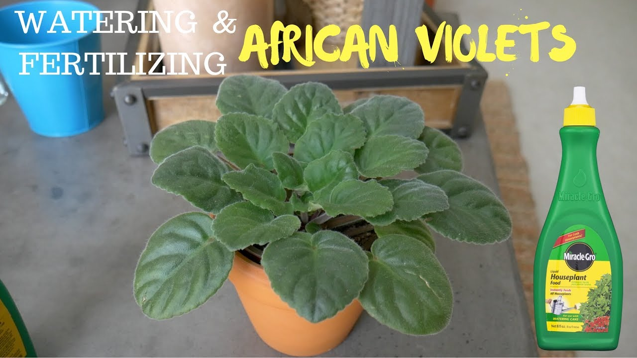 Watering Fertilizing African Violet Using Miracle Gro Houseplant Fertilizer