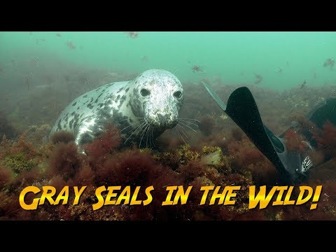 Gray Seals In The Wild | JONATHAN BIRD'S BLUE WORLD
