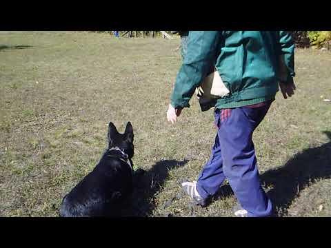 немецкая овчарка Чизара . тренинг 09,10,19(2) . красная звезда
