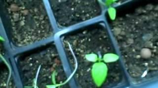 tomatillo sprouts