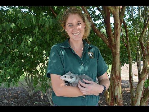 Animal Spotlight: Rescued Virginia Opossum