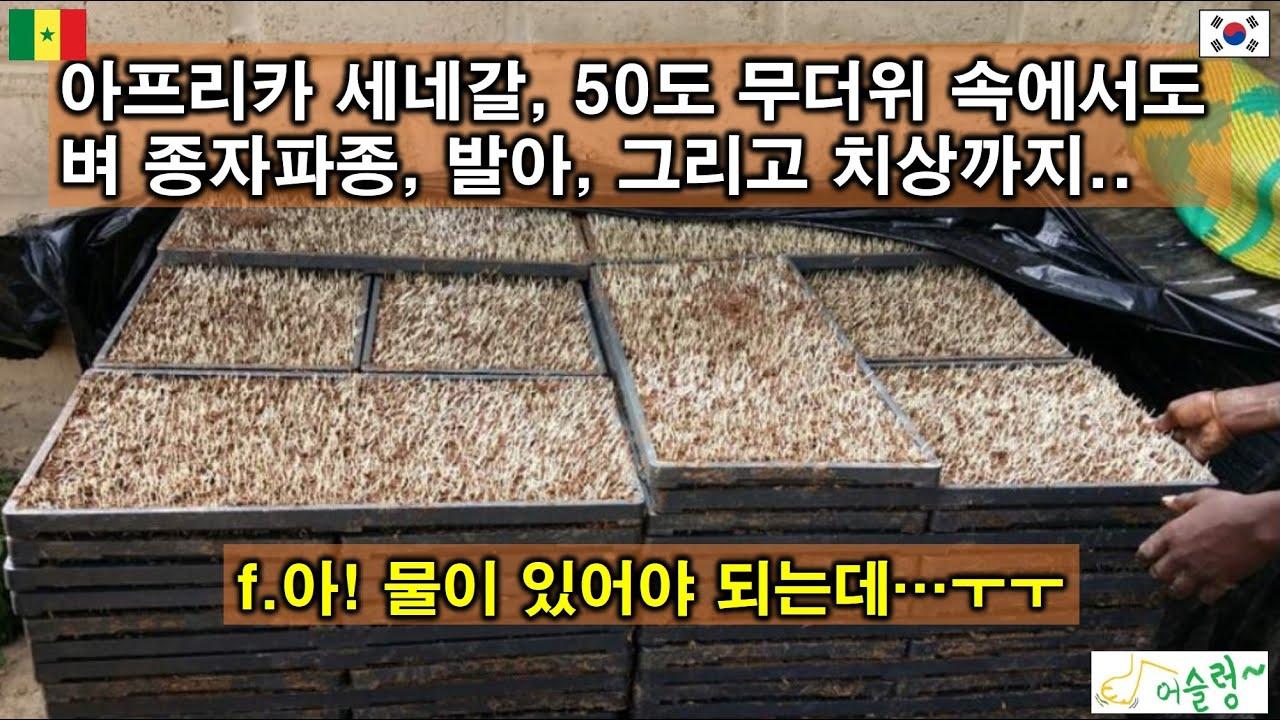 종자 파종,  발아, 그리고 못자리 치상.(ep.5 세네갈 최초 벼 기계이앙)