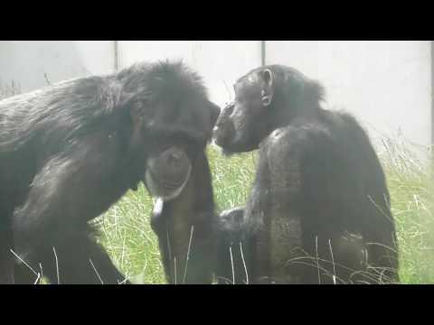 Twycross Zoo - Chimpanzees