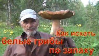 как искать белые грибы по запаху белый гриб Грибы по запаху