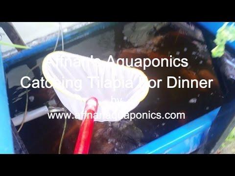 Affnan's Aquaponics - Tilapia For Dinner