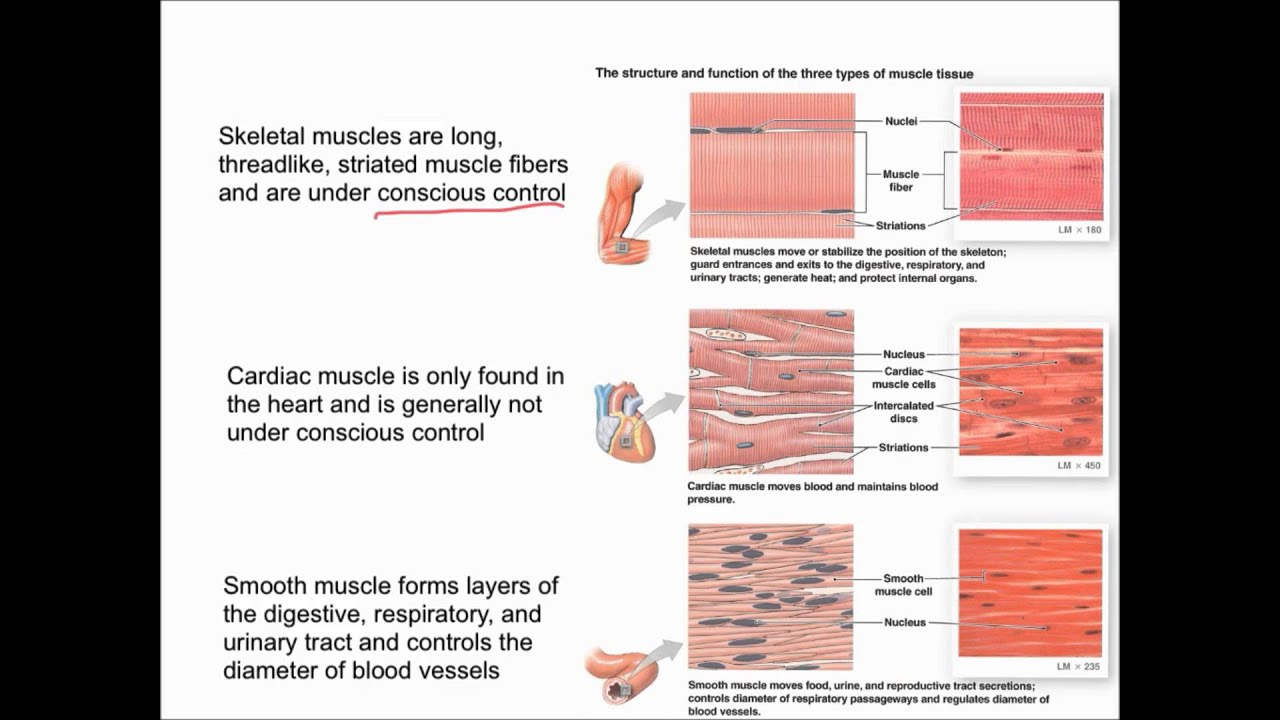 Muscular Tissue Overview Youtube