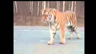 Tiger in the city. Russia, Khabarovsk