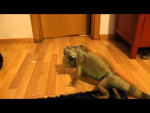 Green Iguana Mating Season Part 2
