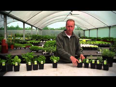 How To Grow Dry Loving Herbs & Planting Companion Plants Round Tomatoes | Organic Edible Garden