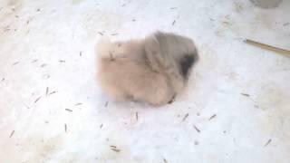 Щенок пекинеса 3,5 месяца