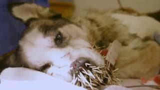 Собака покусала дикобраза (The dog has bitten a porcupine)