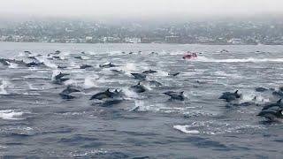 ABD'de sörfçüyle yüzen yüzlerce yunus görenleri şaşırttı