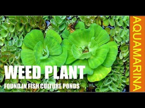 Different Aquatic Weed Found In Fish Culture Pond | Prestocking Management Of Pisciculture Pond