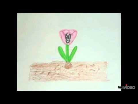 The Life Cycle of a Tulip  YouTube