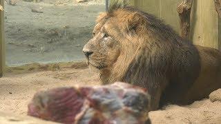 Frankfurter Zoo begrüßt Löwe Kumar