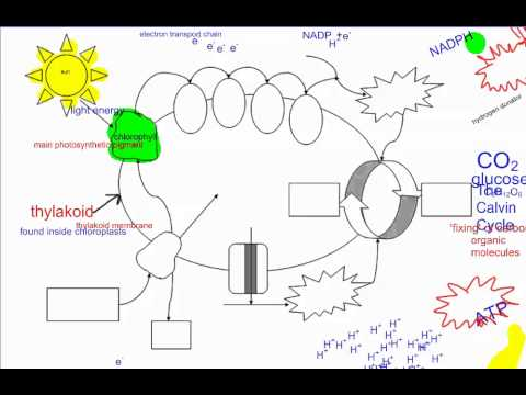 Photosynthesis part 1 intro ib biology youtube ccuart Choice Image