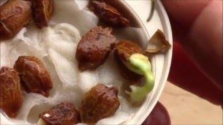 Момордика.  Как прорастить семена момордики?