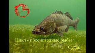 Судак(лат. Sander)– хищная рыба. Описание, ловля.