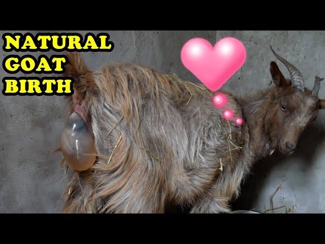 AM FILMAT NAȘTEREA ! (atenție imagini cu impact ) - Goat birth Baby