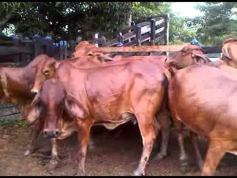 Vacas Rojas 1.3GP