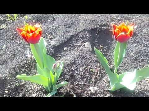 Бахромчатые тюльпаны Fabio.