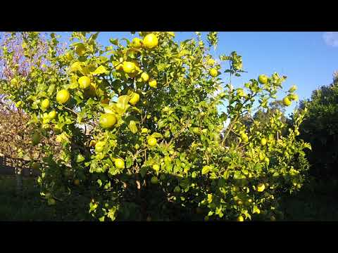Easy Peasy Lemon Squeezy Meaning Easy Peasy Lemon Squeezy Explained English Idioms CPE CAE IELTS