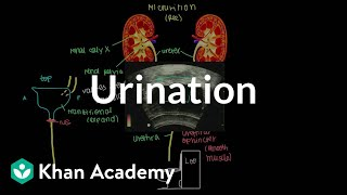 Urination | Renal system physiology | NCLEX-RN | Khan Academy