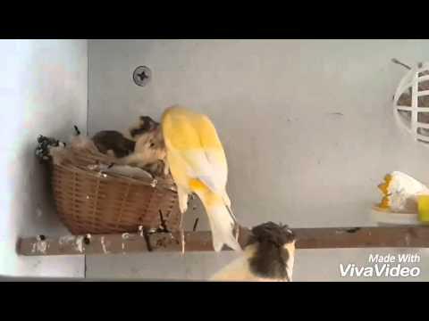 kanarya yavruları yeni sezon :)