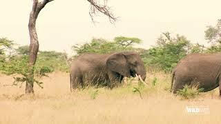WILDLive! - Tanzania - Elephants - S03 E03