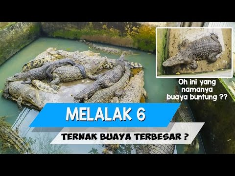 MELALAK #6 : Penangkaran Buaya terbesar di dunia ada di Medan ? Masa sih?