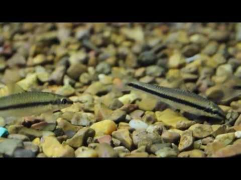 Siamese Algae Eater - Crossocheilus siamensis (False Flying Fox)