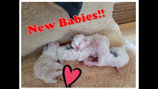 Birman Kittens Lilac Litter  From birth to new homes VLOG #1
