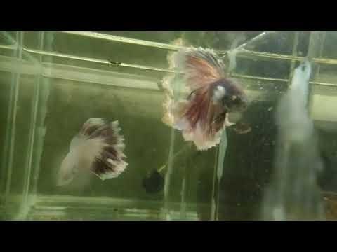 Бойцовая рыбка петушок Информация к приобретению и содержанию
