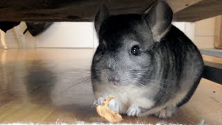 CUTEST Chinchilla Eating an Apple Slice!