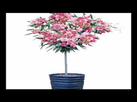 flowering oleander standard tree youtube. Black Bedroom Furniture Sets. Home Design Ideas