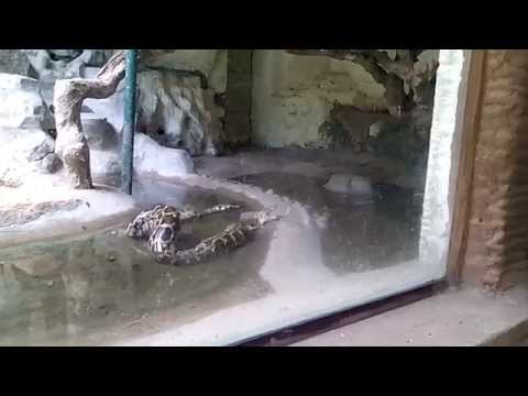 Snake Python attack on zoo caught on camera HD