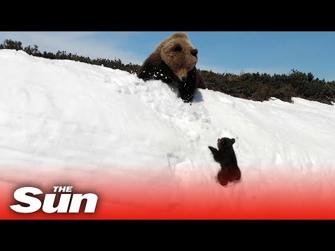 Louie Cruz - WATCH: Bear Cub Tries To Climb The Impossible