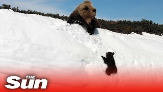 Bear cub climbs mountain to reunite with mama bear
