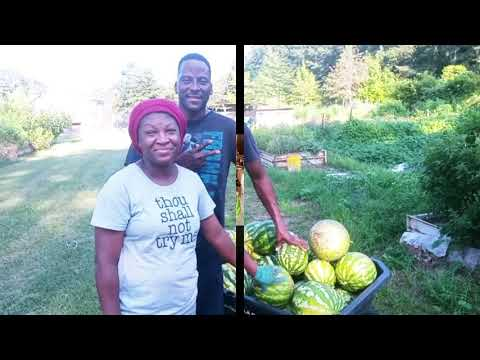 Awesome Watermelon Harvest!