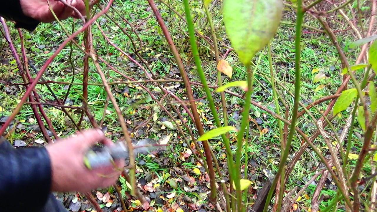 Cięcie Borówki Amerykańskiej Pruning American Blueberries Youtube