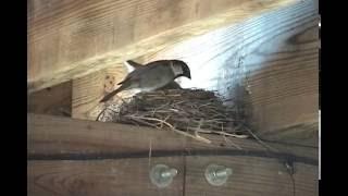 House Sparrows killing robins (eggs)