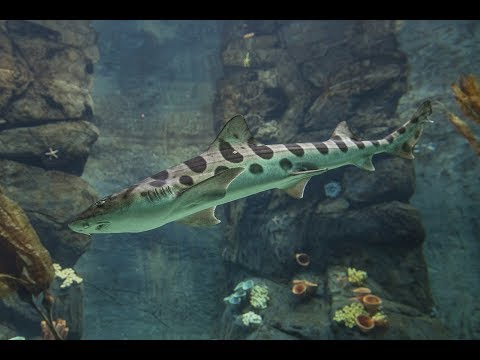 Shark Awareness Day - Leopard Sharks
