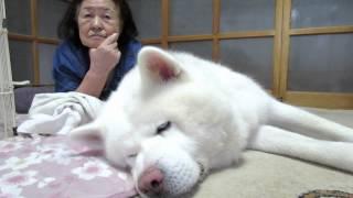 エアコンと扇風機の風でゆっくりするげんき、気持ち良過ぎる寝姿でお婆...