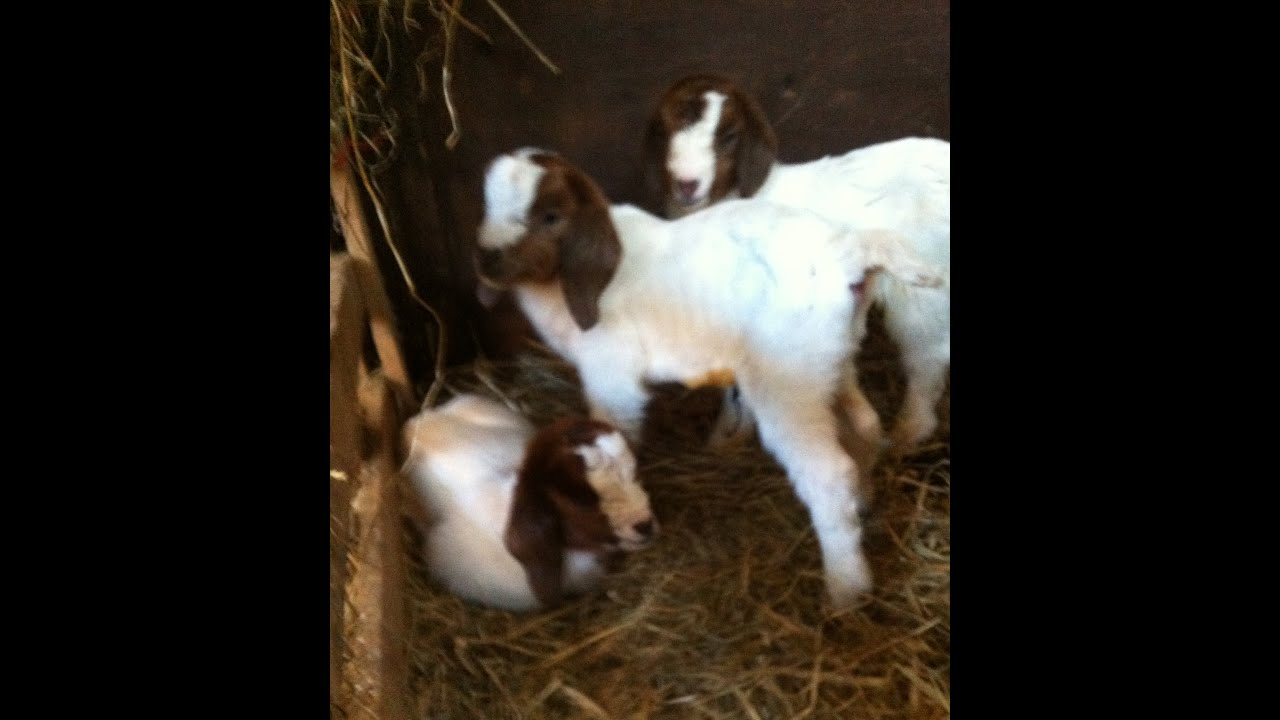 Boer Goat Triplets for Boer Goat Breeders Whalandaw Boer ... - photo#46