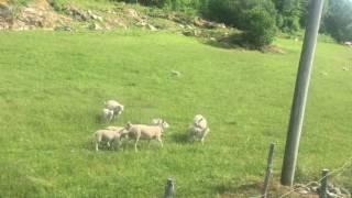 Sheep of Vangsnes