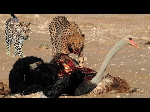 Mother Ostrich protect