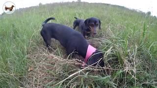 🐶 Такса ➠ Собаки на прогулке охотятся на полевых мышей :))